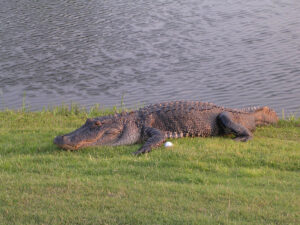 Alligators like golf